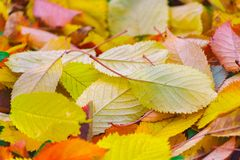 Artistic colorful cherry autumn season leaves stock photo