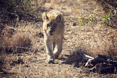 Artistic conversion of a lion cub walking along wild path Stock Photography
