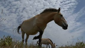 Two Dzungarian horses graze grass on a meadow in slo-mo. An artistic down up view of two Dzungarian horses grazing grass on a magnificent meadow in summer in stock footage