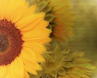 Artistic dreamy sunflowers image enhanced with decorative antique handwriting script stock photography