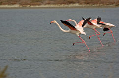 Three flamingo. Flamingo water in Gediz Deltası Turkey Royalty Free Stock Photography