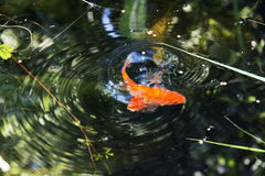 Artistic goldfish in water Stock Photos