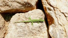 Artistic green lizard on gold boulders stock photos