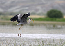 Artistic grey heron. Istanbul in turkey kuş cenneti Royalty Free Stock Photo