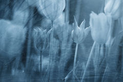 Artistic grunge blue blurred tulips background Stock Image