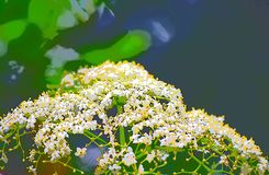 Abstract White Yellow Floral Background - Hogweed - Heracleum. This is an artistic illustration background created by processing an image of white yellow flowers royalty free illustration
