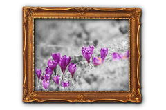 Artistic image of crocuses in painting frame Stock Images