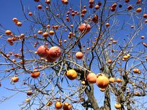 Artistic Image of Orange or Peachish Fruits on Tree -- The fruits just pop out at you, good for album cover, art, design. An artistic photo of some orange fruits Stock Photos