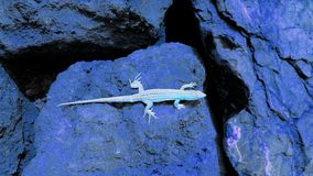 Artistic light blue lizard on dark blue boulders. An artistic modern art type negative picture of a lizard with a wonky tail soaking up the sun on a rock - light stock image