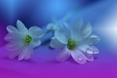 Art Abstract spring floral background for design.Droplet, drop.Purple,flower.Spring border background. Stock Images