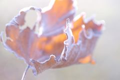 Artistic natural abstract of dry frosted maple leaf Royalty Free Stock Images