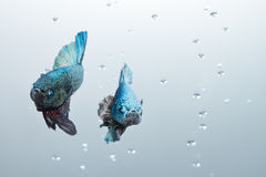 Artistic pair of betta fighting fish Royalty Free Stock Image
