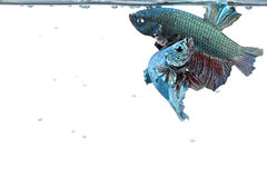 Artistic pair of betta fighting fish, with water surface border Royalty Free Stock Image