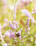 Artistic photo of a bumblebee on the flowers of wild heather Stock Image