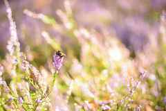 Artistic photo of a bumblebee on the flowers of wild heather Stock Photography