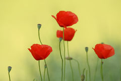 Artistic photo of poppy Stock Photo