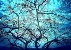 An artistic picture of leafless tree. A beautiful widely spread leafless branches of the tree with a blue sky background looks like an art stock photo
