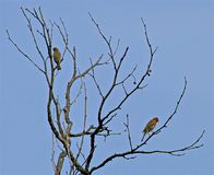 Birds tree. Artistic placement of wild birds on branches of leafless tree in California Stock Photography