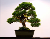 Artistic potted bonsai  tree in flower pot Stock Photography