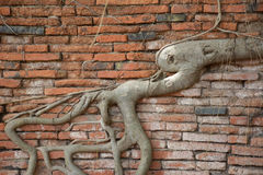 Artistic roots covered the brick wall. At Wat mahatat Thailand Royalty Free Stock Photography