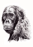 Artistic sketch of ape. Looking over shoulder with white background Stock Photo