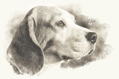 Artistic slightly sepia toned image of a beagle dog head stock images