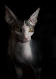 Artistic Sphynx cat portrait. Black background. Royalty Free Stock Image