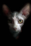 Artistic Sphynx cat portrait. Black background. Stock Photo