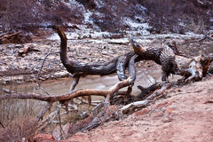 Artistic tree trunk in Zion's National Park. Next to a flowing river Royalty Free Stock Image