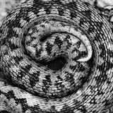 Artistic view of Vipera berus pattern Stock Photos