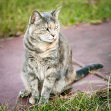 Artistically Toned Tortoiseshell Tabby Cat Sticking Her Tongue O Royalty Free Stock Photo