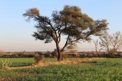 Artistiek gebladerte van een majestueuze boom op de gebieden royalty-vrije stock foto