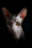 Artistiek Sphynx-kattenportret Zwarte achtergrond Royalty-vrije Stock Afbeeldingen