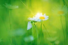 Artistieke foto Kamillebloemen op een weide en een witte vlinder Stock Afbeeldingen