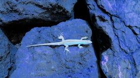 Artistieke lichtblauwe hagedis op donkerblauwe keien stock afbeelding