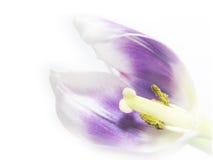 Artistieke tulp Tulipa 64, close-up stock foto