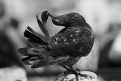 Artistieke zwart-witte foto van een duif royalty-vrije stock afbeeldingen