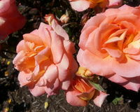 Artistry Rose. Soft Pink and Orange Artistry Rose royalty free stock photos