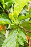 Artocarpus αρτόκαρπων altilis Στοκ Εικόνες