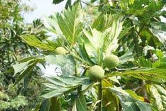 Artocarpus φρούτα altilis Στοκ εικόνα με δικαίωμα ελεύθερης χρήσης