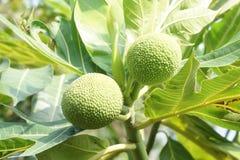 Artocarpus φρούτα altilis Στοκ φωτογραφία με δικαίωμα ελεύθερης χρήσης