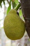 Artocarpus φρούτα heterophyllus Στοκ φωτογραφία με δικαίωμα ελεύθερης χρήσης