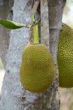Artocarpus φρούτα heterophyllus Στοκ εικόνα με δικαίωμα ελεύθερης χρήσης