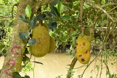 Artocarpus φρούτων του Jack heterophyllus Στοκ εικόνες με δικαίωμα ελεύθερης χρήσης