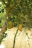 Artocarpus φρούτων του Jack heterophyllus Στοκ Εικόνες