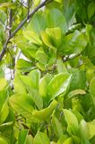 Artocarpus φύλλο heterophyllus Στοκ Φωτογραφία