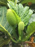 Artocarpus Altilis, Breadfruit Tree with Fruit Growing on Kauai Island, Hawaii. Artocarpus Altilis, Breadfruit Tree with Fruit Growing on Kauai Island in Hawaii stock images