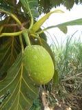Artocarpus Breadfuit altilis Στοκ Φωτογραφίες