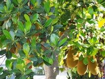 Artocarpus heterophyllus Στοκ Εικόνα