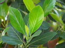 Artocarpus heterophyllus Στοκ Φωτογραφία